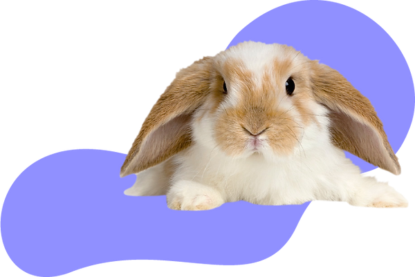 Conejo Minilop