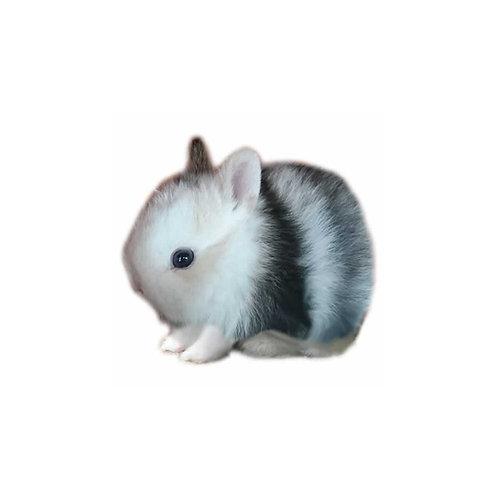 Magpie - Conejo Enano Holandes