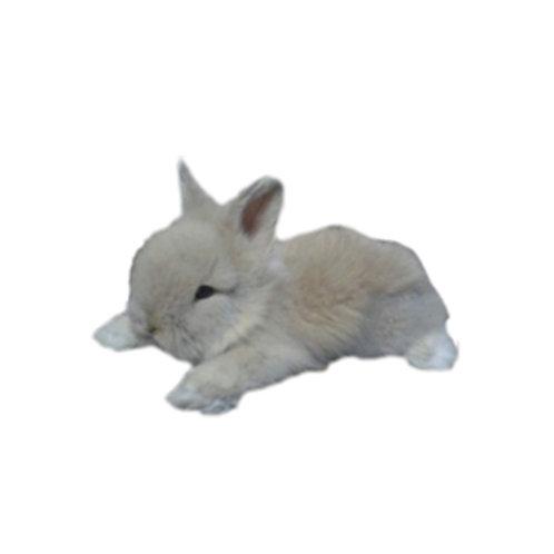 Grey - Conejo MiniLeón