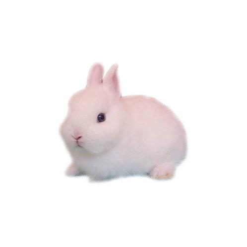 Albino - Conejo Enano Holandes