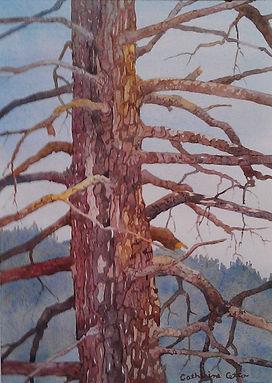 pine tree, treebark, branches