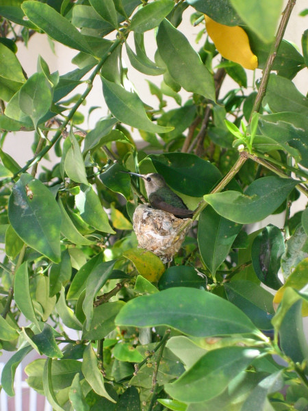 bird-in-kumkuat-tree.jpg