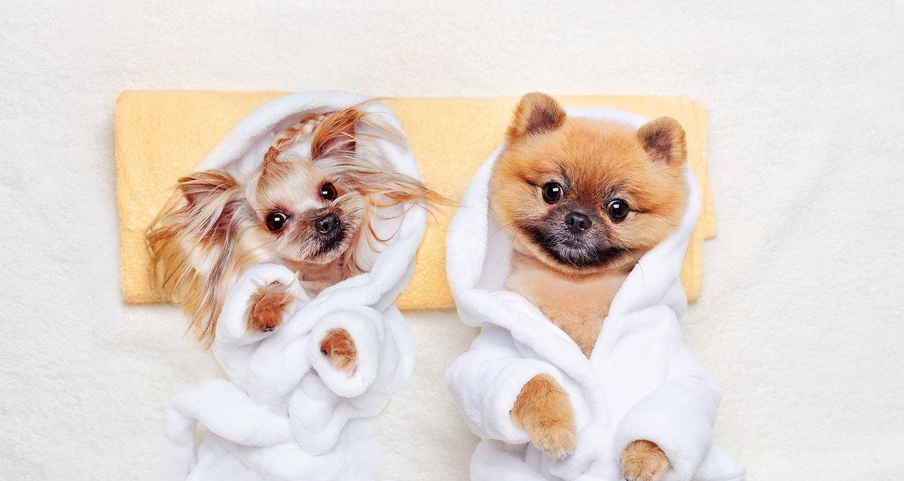 duo chien yorkshire droite et spitz à gauche