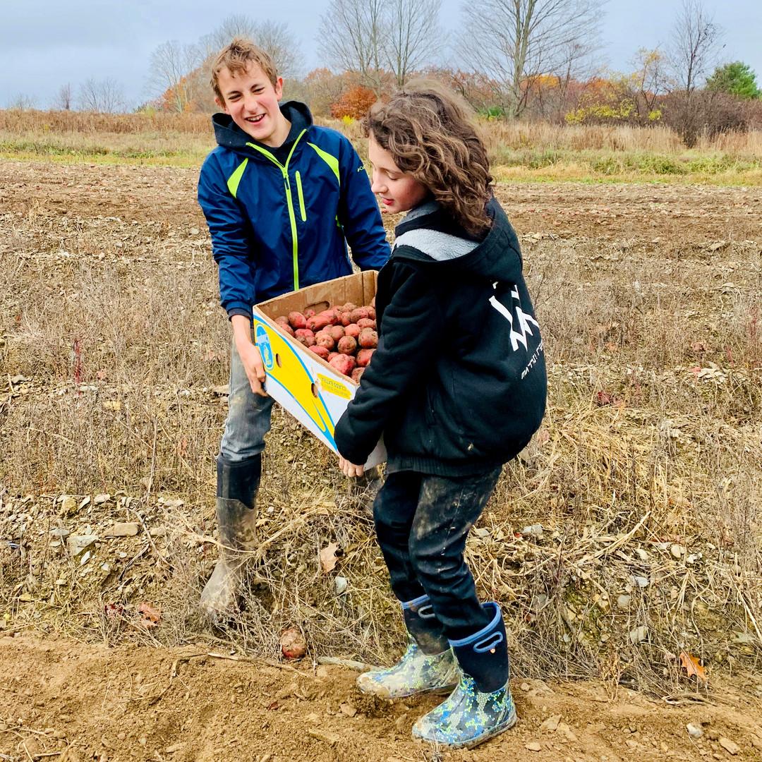 gleaning potatoes.jpeg
