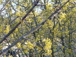 Fleurs de cornouillers