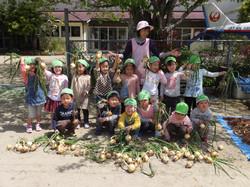 サラ玉収穫
