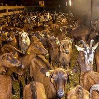 Promenez vous avec les chèvres des élevages locaux