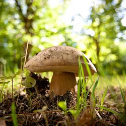 Les cèpes les champignons le plus recherché