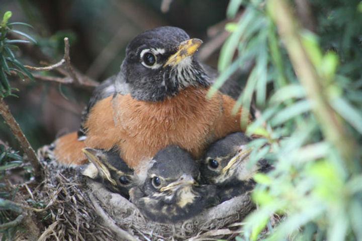 3-18-17-robin-nest.jpg