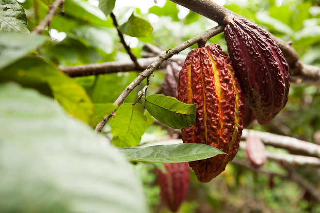 San_Martín,_cacao,_tarapoto.jpg