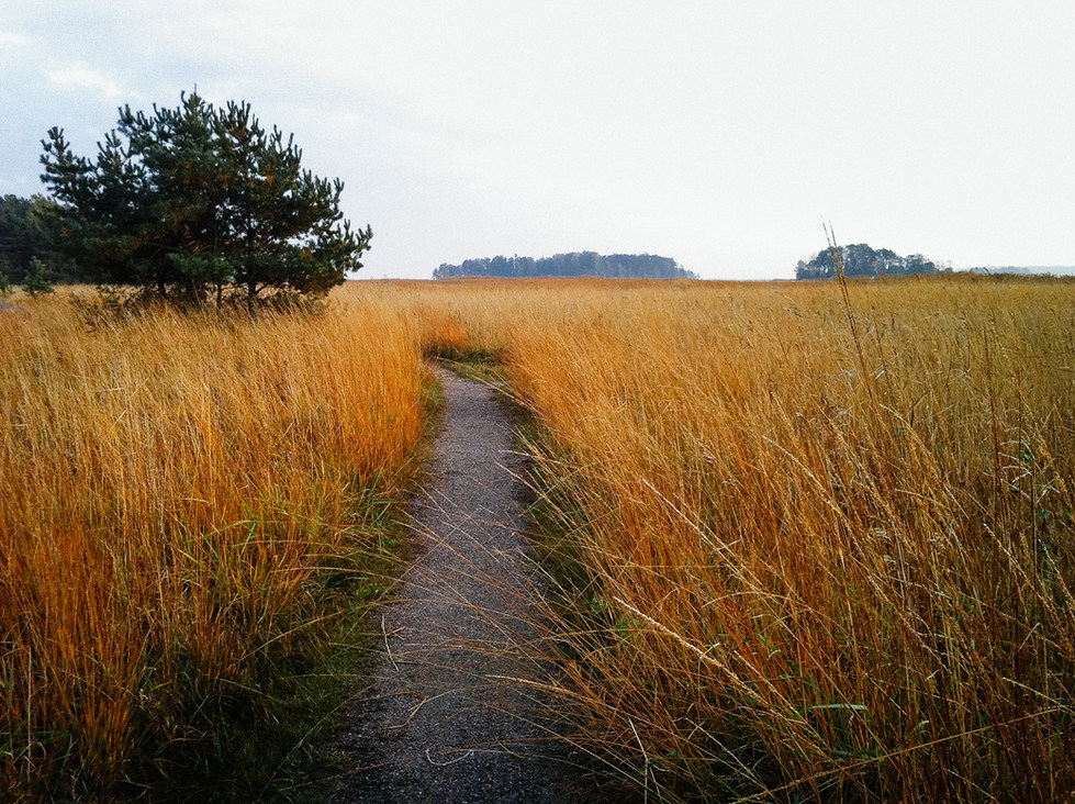 Autumn reeds