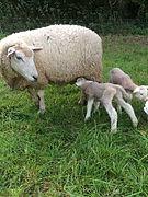 Brebis et agneaux.jpg