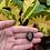 Thumbnail: Obsidiana Mogno