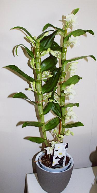 Orchidee +aangepaste pot