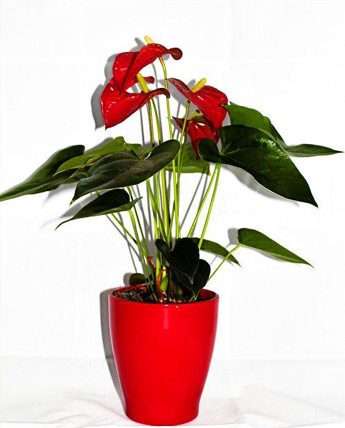 Anthurium rood + pot