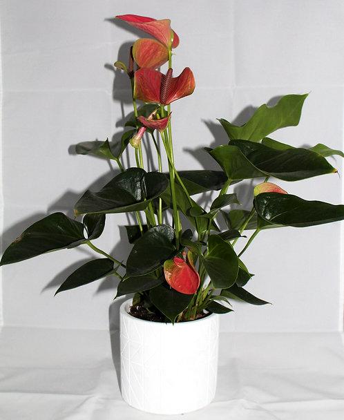 Anthurium Roos + witte pot