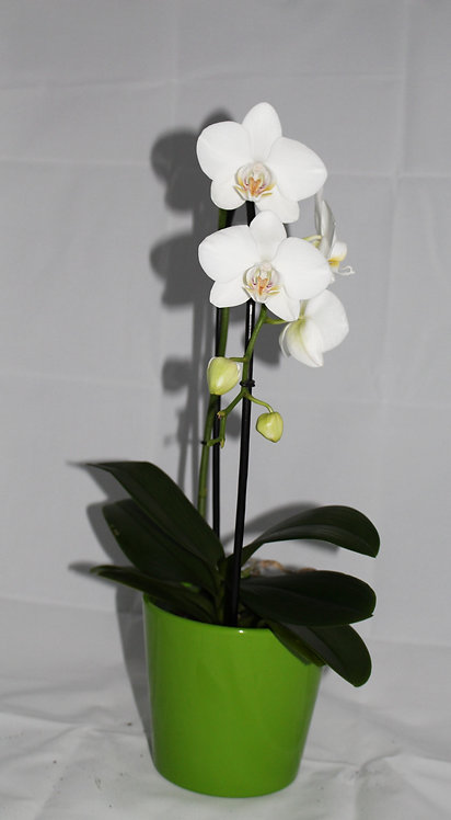 Orchidee wit  + pot