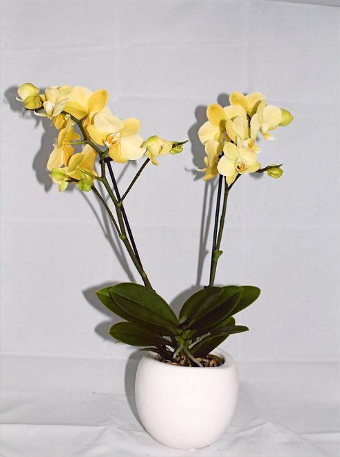 Orchidee Geel + Pot