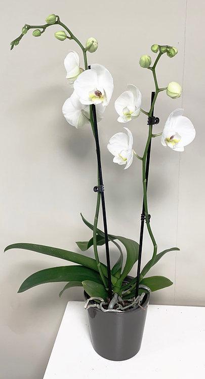 Orchidee + pot