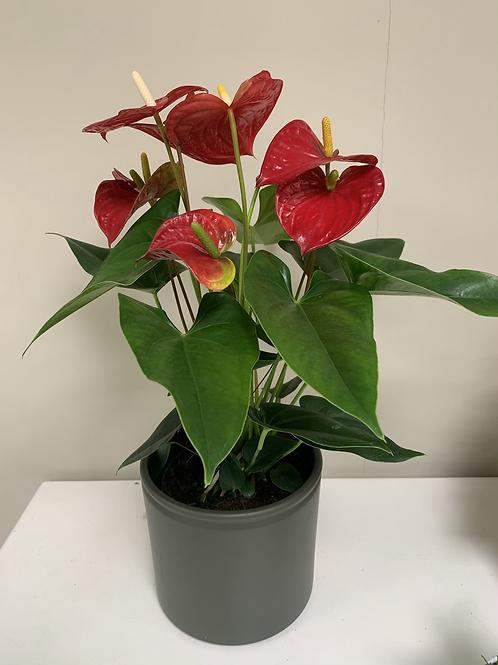 Rode Anthurium met pot