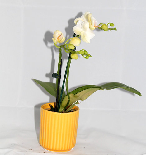 Orchidee klein 2tak + pot