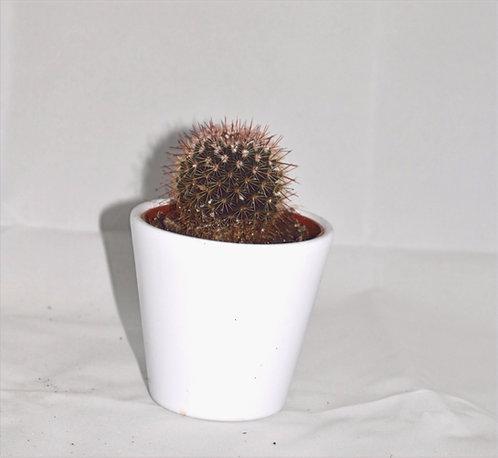 Cactus 1 + witte Pot