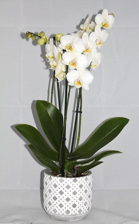 Orchidee 3 tak + pot