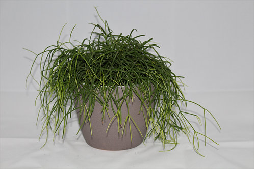 vetplant (hangend)