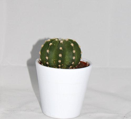 Cactus 4+ witte Pot