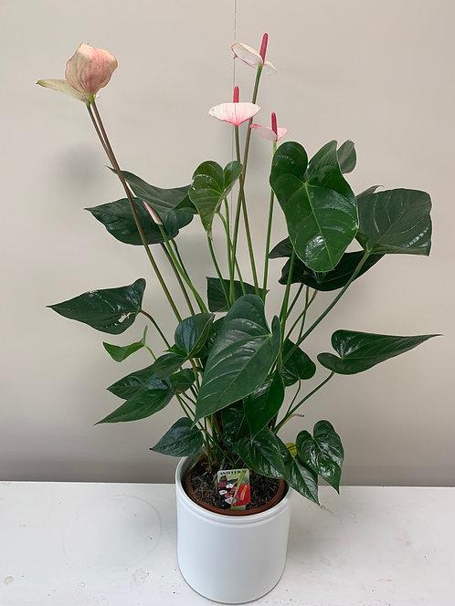 Anthurium roos