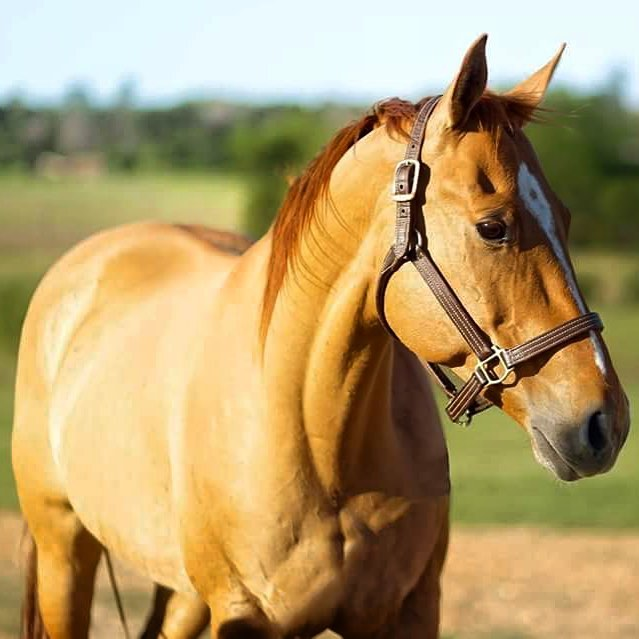Ashley Quarter Horse red dun