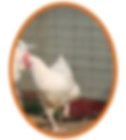 poule-gatinaise-1.jpg