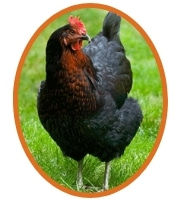 poule-harco-1.jpg