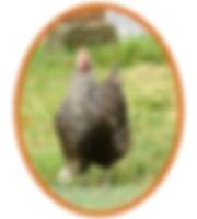 poule-coucou-de-rennes.jpg