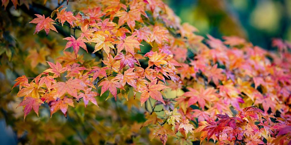 Japanese Autumn Acer Experience