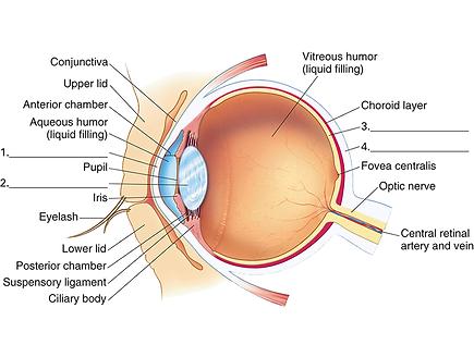 Eye anatomy, Vista Alpina Eye Center Visp, Sierre, Valais