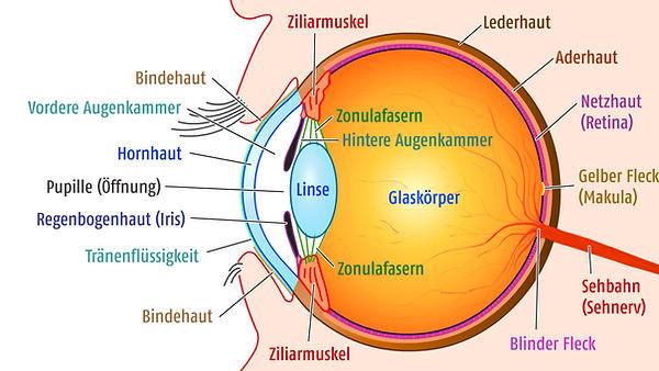 aufbau des auges, funktion des auges, hornhaut, bindehaut, pupille, makula, netzhaut, retina, linse, pupille, regenbogenhaut, vista alpina augenzentrum, visp, sierre, augenchirurgie, augenarzt, sehen ohne brille, implantierbare kontaktlinsen
