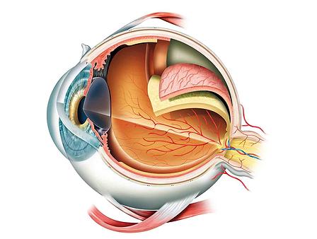 structure de l'œil, fonction de l'œil, cornée, conjonctive, pupille, macula, rétine, lentille, pupille, iris, centre de l'œil vista alpina, visp, sierre, chirurgie oculaire, ophtalmologue, voir sans lunettes, lentilles de contact implantables