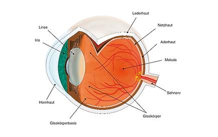 Anatomie des Auges, Vista Alpina Augenklinik Visp/Sierre