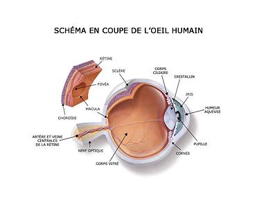 Schéma en coupe de l'oeil humain, , Centre d'ophtalmologues Vista Alpina, Viège, Sierre, Valais