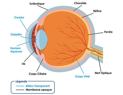 Anatomie de l'oeil, , Centre d'ophtalmologues Vista Alpina, Viège, Sierre, Valais