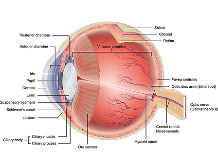 structure of the eye, function of the eye, cornea, conjunctiva, pupil, macula, retina, lens, pupil, iris, vista alpina eye centre, visp, sierre, eye surgery, ophthalmologist, seeing without glasses, implantable contact lenses