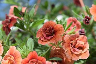 vasaras puķes