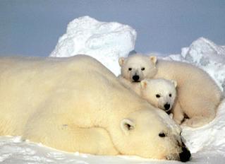 Why is a polar bear white?