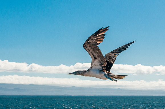 'Blue footed Booby in flight' by Alan Cranston