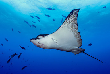'Eagle Ray' by Alan Cranston - 3rd Place