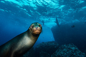 'Sea Lion posing' by Alan Cranston