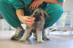 Valp og veterinær