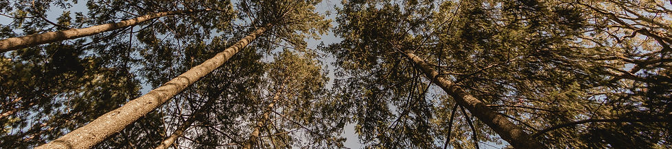 looking-up-at-pine-forest_4460x4460.jpg