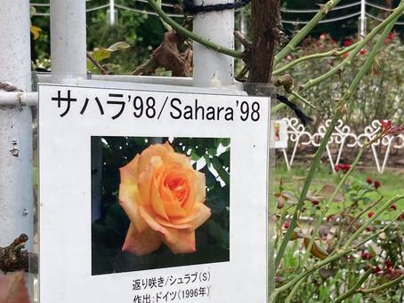 【薔薇】 サハラ'98
